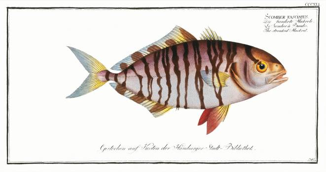 Streaked Mackrel (Scomber fasciatus) from Ichtylogie, ou Histoire naturelle: génerale et particuliére des poissons (1785–1797) by Marcus Elieser Bloch. Original from New York Public Library.  #387487