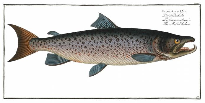 Male-Salmon (Salmo Salar Mas) from Ichtylogie, ou Histoire naturelle: génerale et particuliére des poissons (1785–1797) by Marcus Elieser Bloch. Original from New York Public Library.  Free Photo