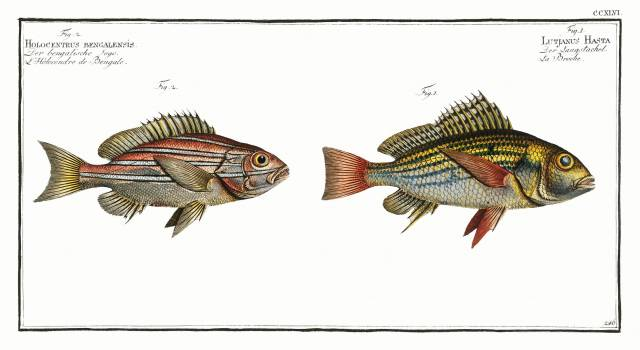 1. Lutjanus Hasta 2. Holocentrus bengalensis from Ichtylogie, ou Histoire naturelle: génerale et particuliére des poissons (1785–1797) by Marcus Elieser Bloch. Original from New York Public Library.  Free Photo