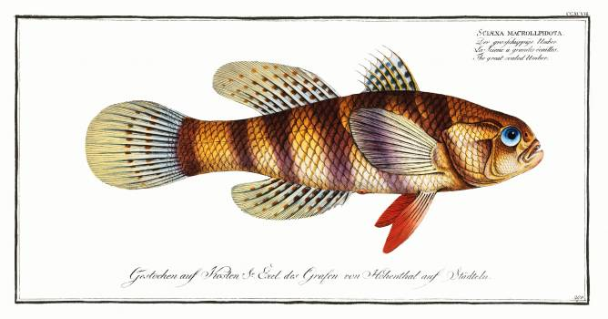 Great-scaled Umber (Sciaena macrollpidota) from Ichtylogie, ou Histoire naturelle: génerale et particuliére des poissons (1785–1797) by Marcus Elieser Bloch. Original from New York Public Library.  Free Photo