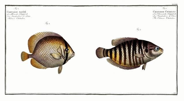 1. Chinese Chetodon (Chaetodon Chinensis) 2. Klein's Chetodon (Chaetodon Kleinii) from Ichtylogie, ou Histoire naturelle: génerale et particuliére des poissons (1785–1797) by Marcus Elieser Bloch. Original from New York Public Library. #387583