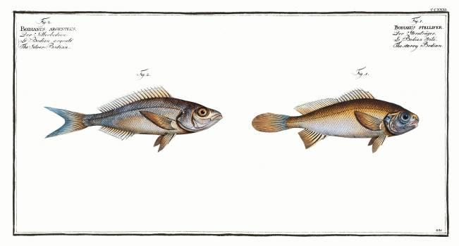 1. Starry Bodian (Bodianus stellifer) 2. Silver Bodian (Bodianus Argenteus) from Ichtylogie, ou Histoire naturelle: génerale et particuliére des poissons (1785–1797) by Marcus Elieser Bloch. Original from New York Public Library.  Free Photo