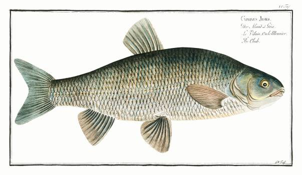 Chub (Cyprinus Jeses) from Ichtylogie, ou Histoire naturelle: génerale et particuliére des poissons (1785–1797) by Marcus Elieser Bloch. Original from New York Public Library.  Free Photo