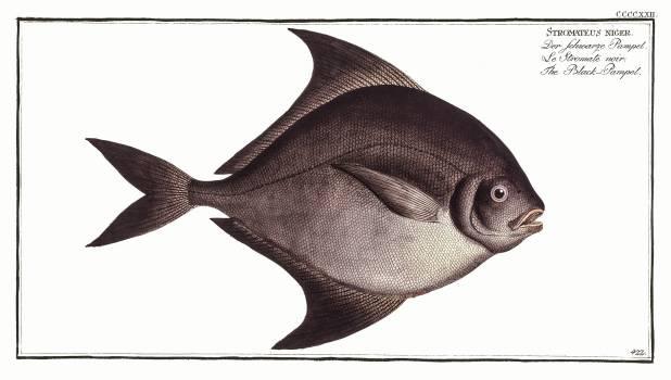 Black-Pampel (Stromateus niger) from Ichtylogie, ou Histoire naturelle: génerale et particuliére des poissons (1785–1797) by Marcus Elieser Bloch. Original from New York Public Library.  #387624