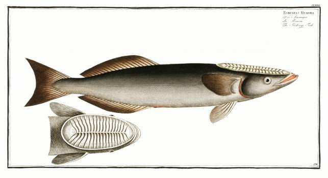 Sucking-Fish (Echeneis Remora) from Ichtylogie, ou Histoire naturelle: génerale et particuliére des poissons (1785–1797) by Marcus Elieser Bloch. Original from New York Public Library.  Free Photo