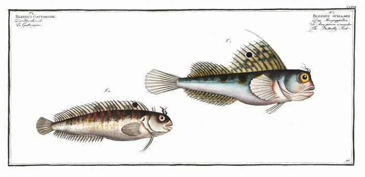 1. Butterfly-fish (Blennius ocellaris) 2. Blennius Gattorugine from Ichtylogie, ou Histoire naturelle: génerale et particuliére des poissons (1785–1797) by Marcus Elieser Bloch. Original from New York Public Library.  #387644