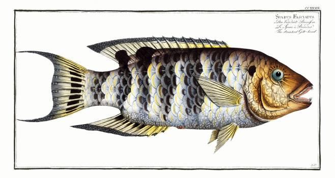 Streaked Gilt-head (Sparus Fasciatus) from Ichtylogie, ou Histoire naturelle: génerale et particuliére des poissons (1785–1797) by Marcus Elieser Bloch. Original from New York Public Library.  Free Photo