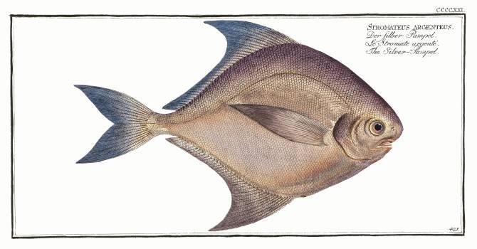 Silver-Pampel (Stromateus argenteus) from Ichtylogie, ou Histoire naturelle: génerale et particuliére des poissons (1785–1797) by Marcus Elieser Bloch. Original from New York Public Library.  Free Photo