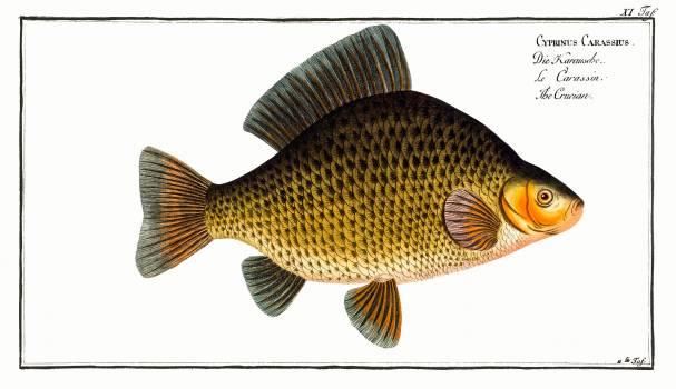 Crucian (Cyprinus Carassius) from Ichtylogie, ou Histoire naturelle: génerale et particuliére des poissons (1785–1797) by Marcus Elieser Bloch. Original from New York Public Library.  Free Photo