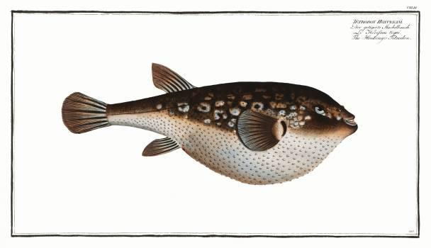 Honkeny's Tetrodon (Tetrodon Honckenii) from Ichtylogie, ou Histoire naturelle: génerale et particuliére des poissons (1785–1797) by Marcus Elieser Bloch. Original from New York Public Library.  Free Photo