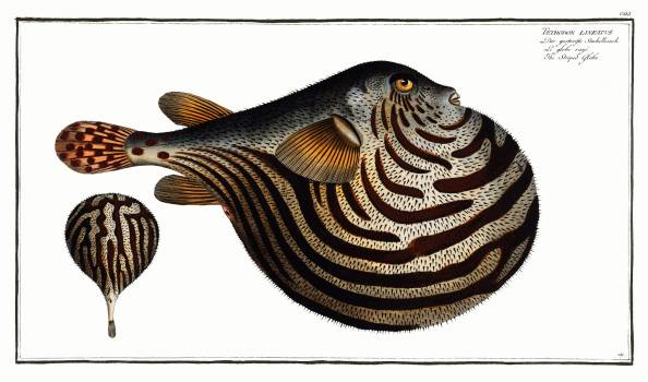 Striped Globe (Tetrodon leneatus) from Ichtylogie, ou Histoire naturelle: génerale et particuliére des poissons (1785–1797) by Marcus Elieser Bloch. Original from New York Public Library.  Free Photo