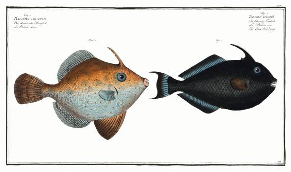 1. Balistes Chinensis 2. Black Old-wife (Balistes ringens) from Ichtylogie, ou Histoire naturelle: génerale et particuliére des poissons (1785–1797) by Marcus Elieser Bloch. Original from New York Public Library.  #387721
