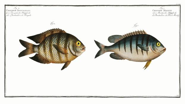 1. Chaetodon Mauritii 2. Chaetodon Bengalensis from Ichtylogie, ou Histoire naturelle: génerale et particuliére des poissons (1785–1797) by Marcus Elieser Bloch. Original from New York Public Library.  Free Photo