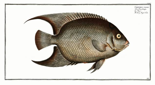 Hairy Angel-Fish (Chaetodon ciliaris) from Ichtylogie, ou Histoire naturelle: génerale et particuliére des poissons Chaetodon suratensis (1785–1797) by Marcus Elieser Bloch. Original from New York Public Library.  #387750