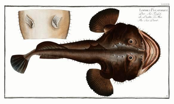 Sea Devil (Lophius Piscatorius) from Ichtylogie, ou Histoire naturelle: génerale et particuliére des poissons (1785–1797) by Marcus Elieser Bloch. Original from New York Public Library.  #387752