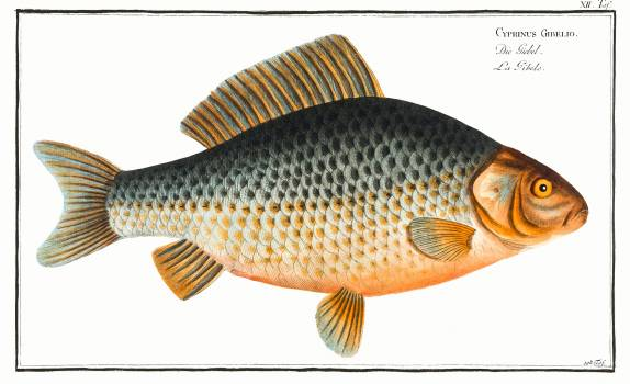Gibel (Cyprinus Gibelio) from Ichtylogie, ou Histoire naturelle: génerale et particuliére des poissons (1785–1797) by Marcus Elieser Bloch. Original from New York Public Library.  #387767