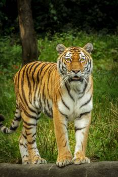 Tiger in Green Grass Near the Tree during Daytime #38776