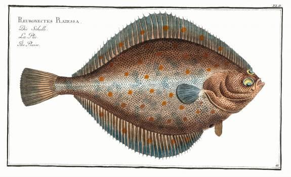 Plaise (Pleuronectes Platessa) from Ichtylogie, ou Histoire naturelle: génerale et particuliére des poissons (1785–1797) by Marcus Elieser Bloch. Original from New York Public Library.  #387772