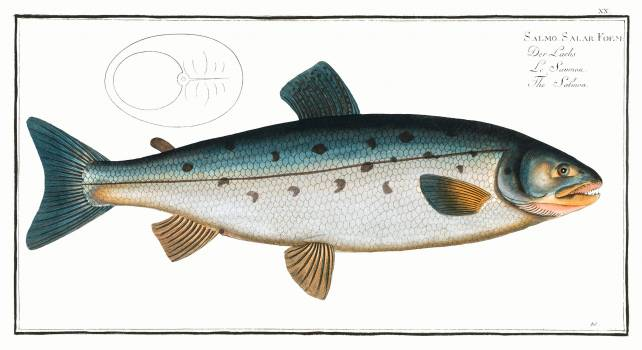 Salmon (Salmo Salar) from Ichtylogie, ou Histoire naturelle: génerale et particuliére des poissons (1785–1797) by Marcus Elieser Bloch. Original from New York Public Library.  Free Photo