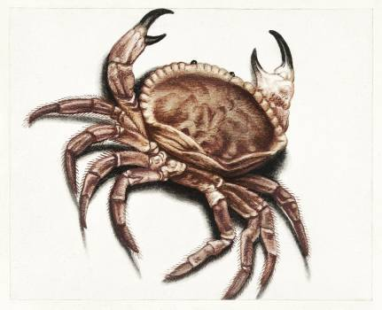 Crab by anonymous (1560–1585). Original from The Rijksmuseum.  #387970