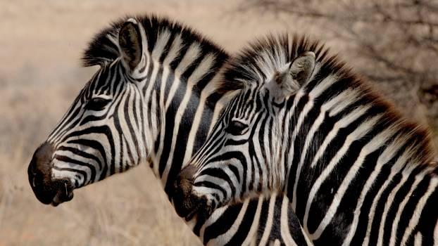 Stripes zebra stripes zebras wild Free Photo