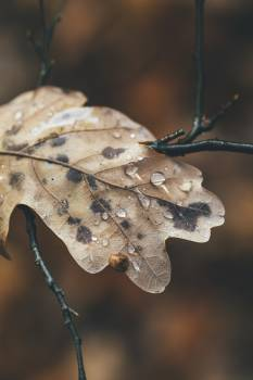 Dried leaf with droplets #388060
