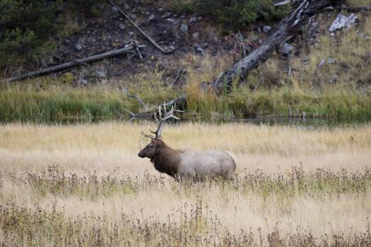 Bull elk in Yellowstone National Park, in the northwest corner of the western state of Wyoming. Original image from Carol M. Highsmith's America, Library of Congress collection.  Free Photo