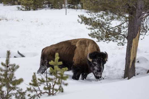 An American bison, or buffalo, navigates snowy Yellowstone National Park in western Wyoming. Any number of animals -- not just buffaloes -- might have stripped the bark from the tree in the photograph. Forage is sometimes hard to find following blizzards. #388306