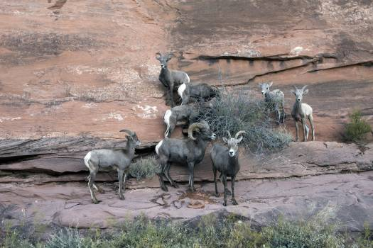 Bighorn sheep in Colorado National Monument, a preserve of vast plateaus, canyons, and towering monoliths in Mesa County, Colorado, near Grand Junction. Original image from Carol M. Highsmith's America, Library of Congress collection.  #388400