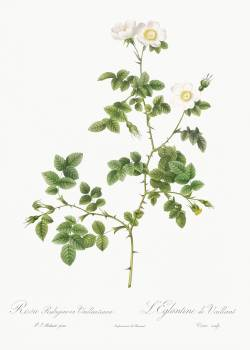 White Sweetbriar, also known as the Wild Rose of Valiant (Rosa rubignosa vaillantiana from Les Roses (1817–1824) by Pierre-Joseph Redouté. Original from the Library of Congress.  Free Photo