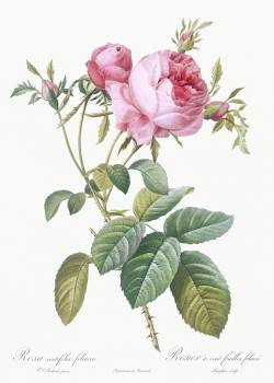Rose de Mai, Rosa centifolia foliacea from Les Roses (1817–1824) by Pierre-Joseph Redouté. Original from the Library of Congress.  #388540