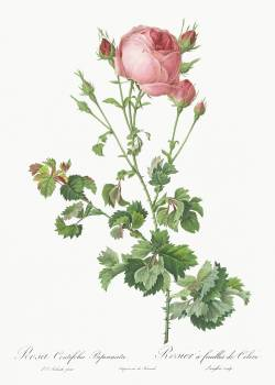 Celery-Leaved Variety of Cabbage Rose, Rosa centifolia bipinnata from Les Roses (1817–1824) by Pierre-Joseph Redouté. Original from the Library of Congress.  #388546