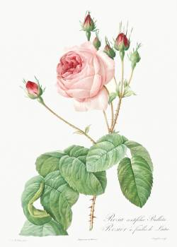 Cabbage Rose, also known as Rosebush with Lettuce Leaves (Rosa centifolia bullata) from Les Roses (1817–1824) by Pierre-Joseph Redouté. Original from the Library of Congress.  #388556