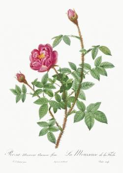 Anemone-Flowered Rose Muscosa, Rosa muscosa anemone-flora from Les Roses (1817–1824) by Pierre-Joseph Redouté. Original from the Library of Congress.  Free Photo