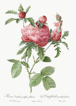 Cabbage Rose bloom, also known as One Hundred-Leaved Rose (Rosa centifolia prolifera foliacea) from Les Roses (1817–1824) by Pierre-Joseph Redouté. Original from the Library of Congress.  #388577