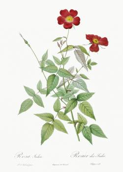 Rose, also known as Rosebush (Rosa indica) from Les Roses (1817–1824) by Pierre-Joseph Redouté. Original from the Library of Congress.  Free Photo