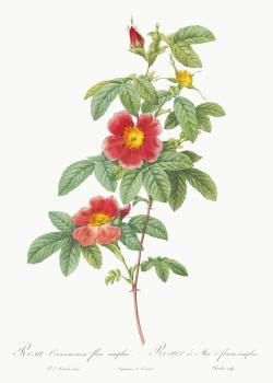 Rosa majalis, also known as Single May Rose (Rosa Cinnamomea flore simplici) from Les Roses (1817–1824) by Pierre-Joseph Redouté. Original from the Library of Congress.  Free Photo