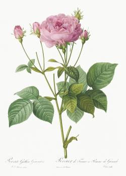 Rosa gallica granules, also known as Rosebush of France with Pomegranate from Les Roses (1817–1824) by Pierre-Joseph Redouté. Original from the Library of Congress.  #388633
