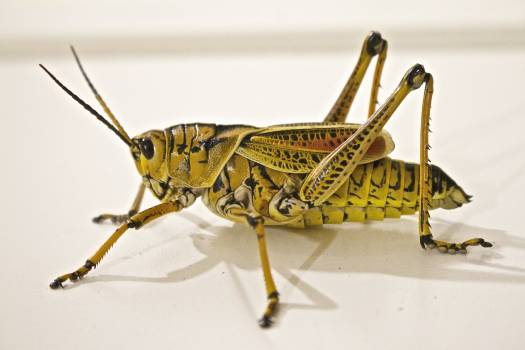 Green Grasshopper Close-Up Photo #38864