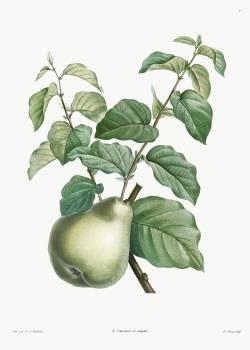 Pear fruit from La Botanique de J. J. Rousseau by Pierre-Joseph Redouté (1759–1840). Original from the Library of Congress.  #388681