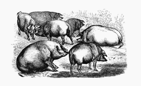 Majorcan pigs from The Balearic Islands illustrated by Louis Salvator (1897). Original from the British Library.  #389095