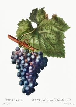 Grape vine (Vitis vinifera) from Traité des Arbres et Arbustes que l'on cultive en France en pleine terre (1801–1819) by Pierre-Joseph Redouté. Original from the New York Public Library.  #389294