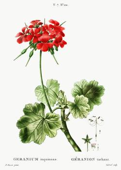 Scarlet geranium (Geranium inquinans) from Traité des Arbres et Arbustes que l'on cultive en France en pleine terre (1801–1819) by Pierre-Joseph Redouté. Original from the New York Public Library.  #389316