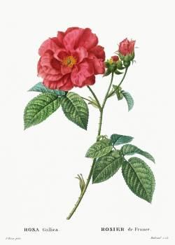 French rose (Rosa gallica) from Traité des Arbres et Arbustes que l'on cultive en France en pleine terre (1801–1819) by Pierre-Joseph Redouté. Original from the New York Public Library.  Free Photo