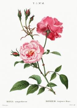 Ever-blowing rose (Rosa semperflorens) from Traité des Arbres et Arbustes que l'on cultive en France en pleine terre (1801–1819) by Pierre-Joseph Redouté. Original from the New York Public Library.  Free Photo