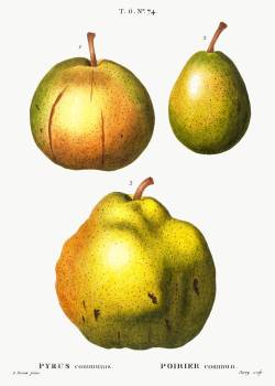 Pear, Pyrus communis from Traité des Arbres et Arbustes que l'on cultive en France en pleine terre (1801–1819) by Pierre-Joseph Redouté. Original from the New York Public Library.  #389348