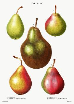 Pear, Pyrus communis from Traité des Arbres et Arbustes que l'on cultive en France en pleine terre (1801–1819) by Pierre-Joseph Redouté. Original from the New York Public Library.  #389364