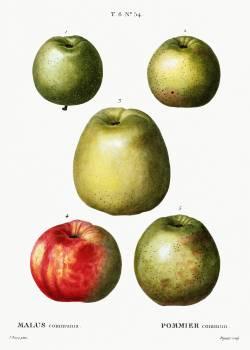 Apple (Malus communis) from Traité des Arbres et Arbustes que l'on cultive en France en pleine terre (1801–1819) by Pierre-Joseph Redouté. Original from the New York Public Library.  #389367