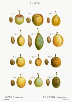 Common plums, Prunus domesticafrom Traité des Arbres et Arbustes que l'on cultive en France en pleine terre (1801–1819) by Pierre-Joseph Redouté. Original from the New York Public Library.  Free Photo