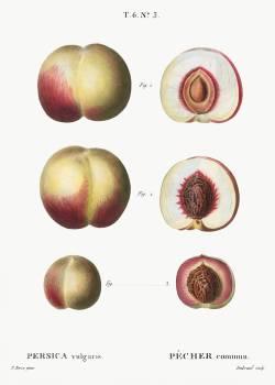 Peaches, Persica vulgaris from Traité des Arbres et Arbustes que l'on cultive en France en pleine terre (1801–1819) by Pierre-Joseph Redouté. Original from the New York Public Library.  #389428